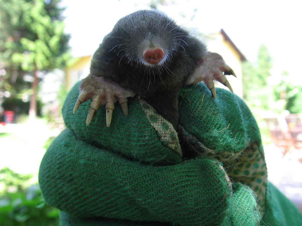 captured mole