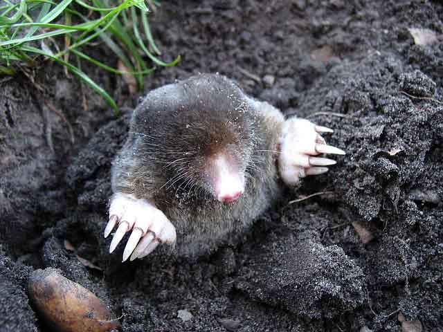 Mole in a hole
